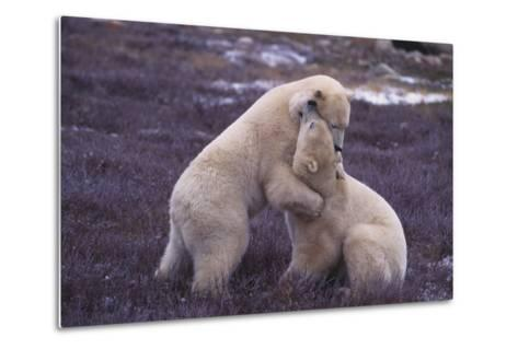Polar Bears Hugging-DLILLC-Metal Print