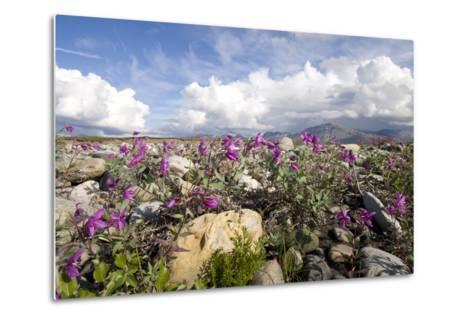 Dwarf Fireweed Bloom Along the Canning River in Anwr. Summer in Arctic Alaska-Design Pics Inc-Metal Print