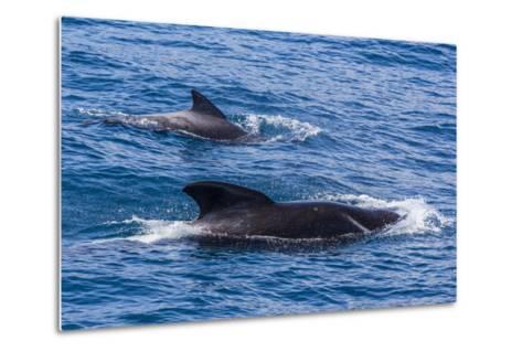 Adult Female and Male Long-Finned Pilot Whales (Globicephala Melas)-Michael Nolan-Metal Print