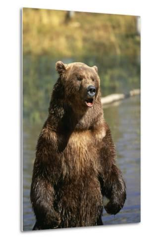 Grizzly Standing in Stream-DLILLC-Metal Print
