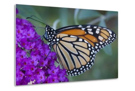 Portrait of a Female Monarch Butterfly, Danaus Plexippus, Sipping Nectar from a Flower-Kent Kobersteen-Metal Print