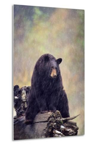 Black Bear-DLILLC-Metal Print