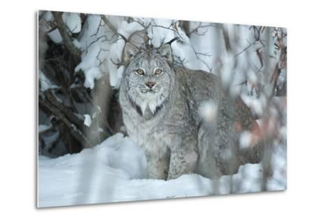 Portrait of a Canadian Lynx, Lynx Canadensis, in a Snowy Forest Setting-Peter Mather-Metal Print