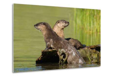 Two Northern River Otters Enjoying a Warm Summer Day-Tom Murphy-Metal Print
