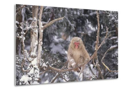 Japanese Macaque Perched on Tree-DLILLC-Metal Print
