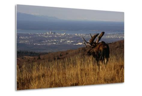 Bull Moose Grazing and Resting on Hillside Above Anchorage Chugach State Park Southcentral Ak Autum-Design Pics Inc-Metal Print