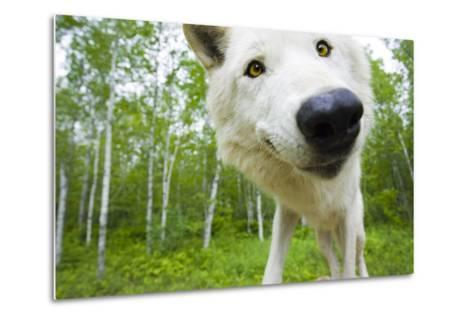 Closeup of Adult Wolf Face in Forest Minnesota Spring Captive-Design Pics Inc-Metal Print