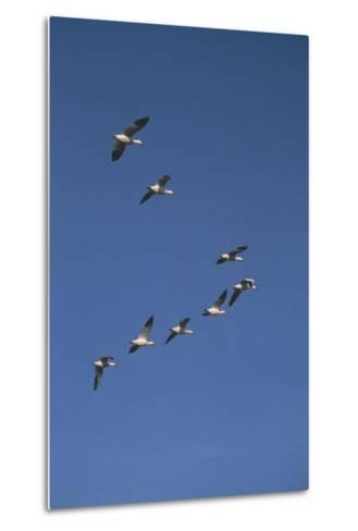 Snow Geese Flying in Formation-DLILLC-Metal Print