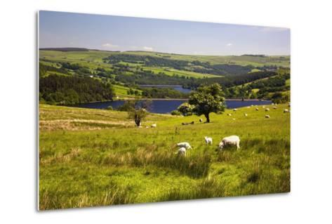 Sheffield, South Yorkshire, England; Sheep Grazing in a Pasture-Design Pics Inc-Metal Print