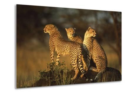 Three Cheetahs on Termite Mound-DLILLC-Metal Print