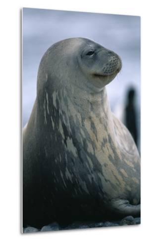 Weddell Seal-DLILLC-Metal Print