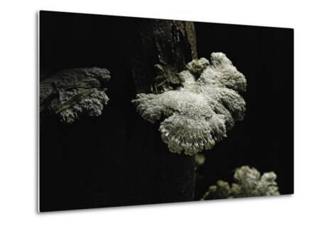 Schizophyllum Commune (Split Gill Fungus, Common Porecrust, Wood Decay)-Paul Starosta-Metal Print