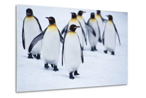 King Penguins Walking in Snow-DLILLC-Metal Print