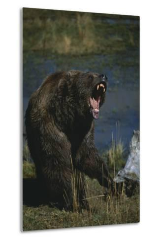 Grizzly Roaring-DLILLC-Metal Print