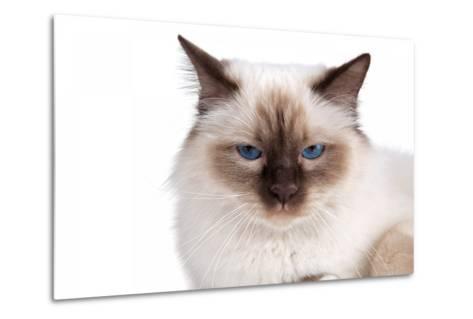 Sacred Cat of Burma-Fabio Petroni-Metal Print