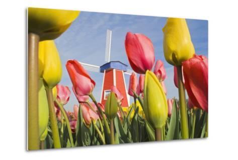 Windmill and Tulips at Wooden Shoe Tulip Farm; Woodburn, Oregon, USA-Design Pics Inc-Metal Print