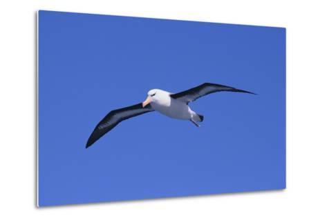 Black-Browed Albatross in Flight-DLILLC-Metal Print