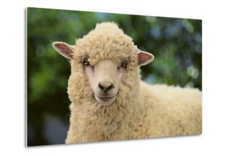 Whitefaced Sheep-DLILLC-Metal Print