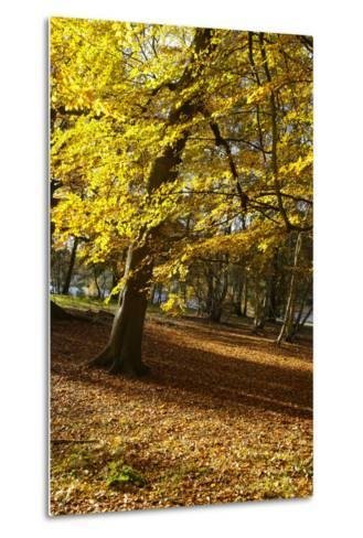 Yellow Leaves on Trees in Forest-Design Pics Inc-Metal Print