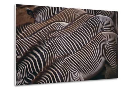Zebra Backs-DLILLC-Metal Print