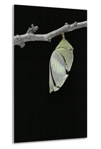 Morpho Peleides (Blue Morpho) - Emerging from Pupa-Paul Starosta-Metal Print