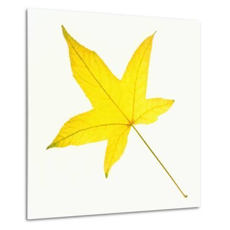 Sweet Gum Leaf-DLILLC-Metal Print