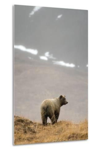 Brown Bear Standing on Ridge in Rain at Highway Pass Denali National Park Interior Alaska Autumn-Design Pics Inc-Metal Print