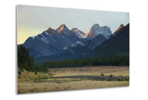 Moose Grazing at Sunset with Mountains in the Background; Alberta Canada-Design Pics Inc-Metal Print