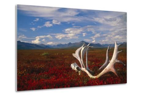 Caribou Skull and Antlers Laying on Arctic Tundra Kobuk Valley National Park Alaska Autumn-Design Pics Inc-Metal Print