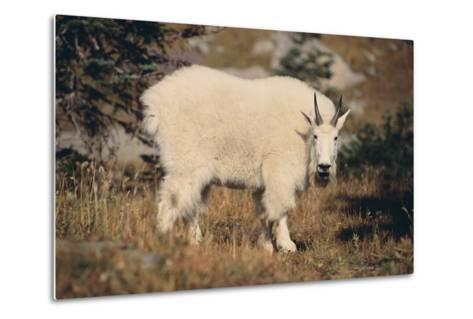 Mountain Goat-DLILLC-Metal Print