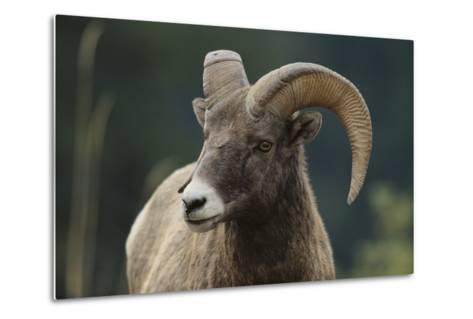 Bighorn Sheep-DLILLC-Metal Print