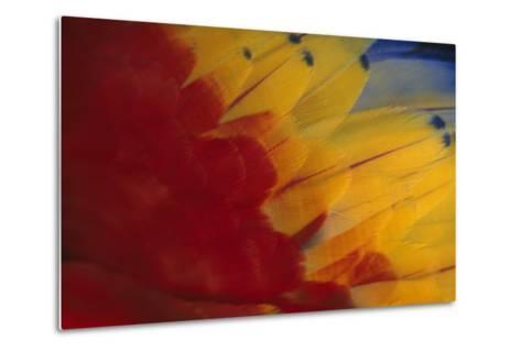 Scarlet Macaw Feathers-DLILLC-Metal Print