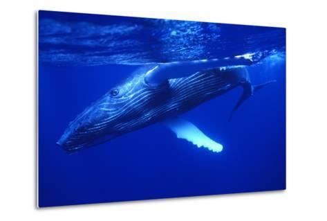 Humpback Whale Swimming Underwater-DLILLC-Metal Print