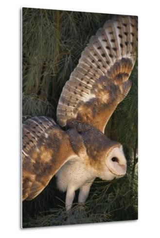 Barn Owl-DLILLC-Metal Print