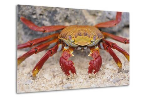 Sally Lightfoot Crab-DLILLC-Metal Print