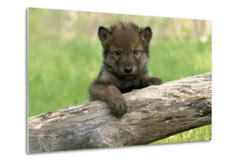 Captive Wolf Pup on Log Minnesota-Design Pics Inc-Metal Print
