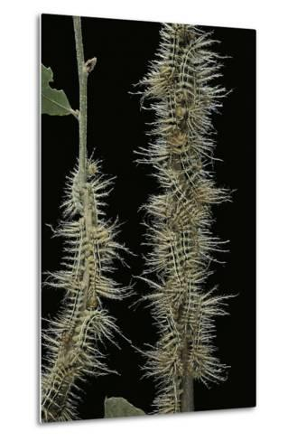 Automeris Egeus (Moth) - Caterpillars-Paul Starosta-Metal Print