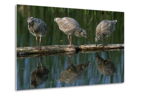 Adolescent Gull Chicks on Log Potter Marsh Sc Ak Summer Wildlife Refuge-Design Pics Inc-Metal Print