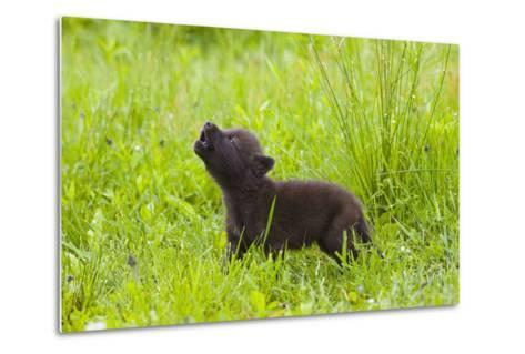 Young Wolf Pup in Meadow Instinctively Howling Minnesota Spring Captive-Design Pics Inc-Metal Print