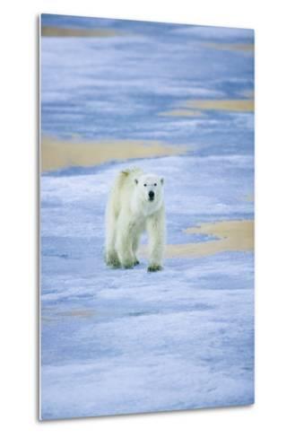 Polar Bear on Sea Ice-DLILLC-Metal Print