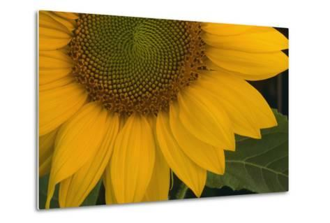 Sunflower-DLILLC-Metal Print
