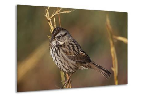 Chipping Sparrow on Twig-DLILLC-Metal Print