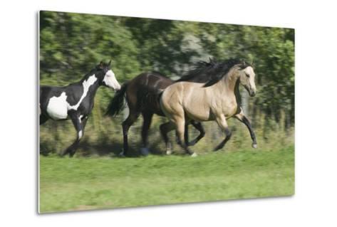Quarter Horses Running-DLILLC-Metal Print
