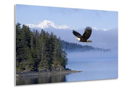 Bald Eagle in Flight over the Inside Passage with Tongass National Forest in the Background, Alaska-Design Pics Inc-Metal Print
