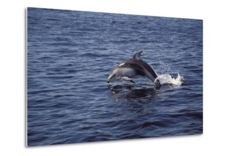 Pacific White Sided Dolphin Johnston Strait Vancouver Island Canada-Design Pics Inc-Metal Print