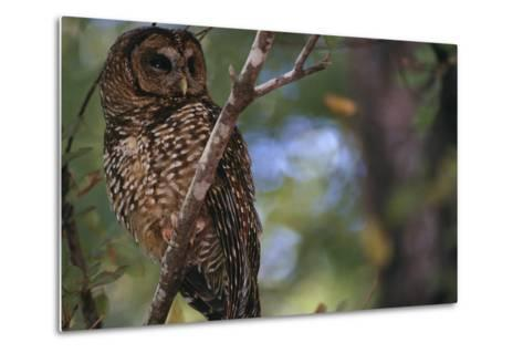 Northern Spotted Owl-DLILLC-Metal Print