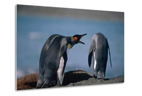 Group of King Penguins Interacting Together on Beach South Georgia Island Summer Antarctic-Design Pics Inc-Metal Print