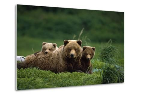 Grizzly Bear Mother and Cubs Lay in Field Southwest Ak - Nsummer-Design Pics Inc-Metal Print