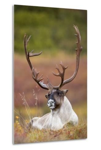 Bull Caribou Bedded on Autumn Tundra in Denali National Park, Interior Alaska-Design Pics Inc-Metal Print