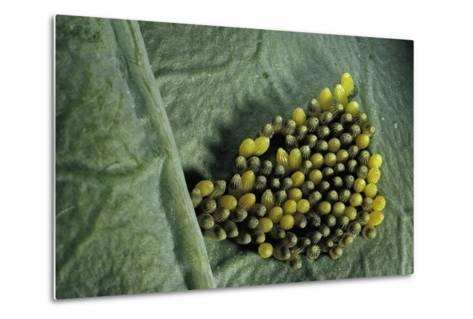 Pieris Brassicae (Large White Butterfly, Cabbage Butterfly) - Old Eggs-Paul Starosta-Metal Print